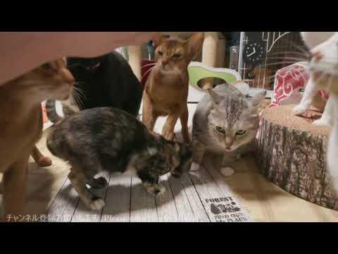 2017.10.20 猫部屋ライブ映像   Cats & Kittens room 【Miaou みゃう】