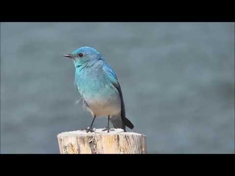 Mountain Bluebird - shy singer