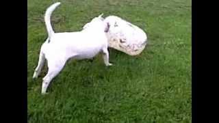 English Bull Terrier V