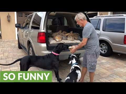 Excited Great Danes can't wait for tasty chicken snack