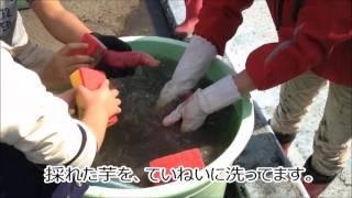H28.11.03福岡県朝倉市の「あまぎ水の文化村」さんで行われた、いも掘り...