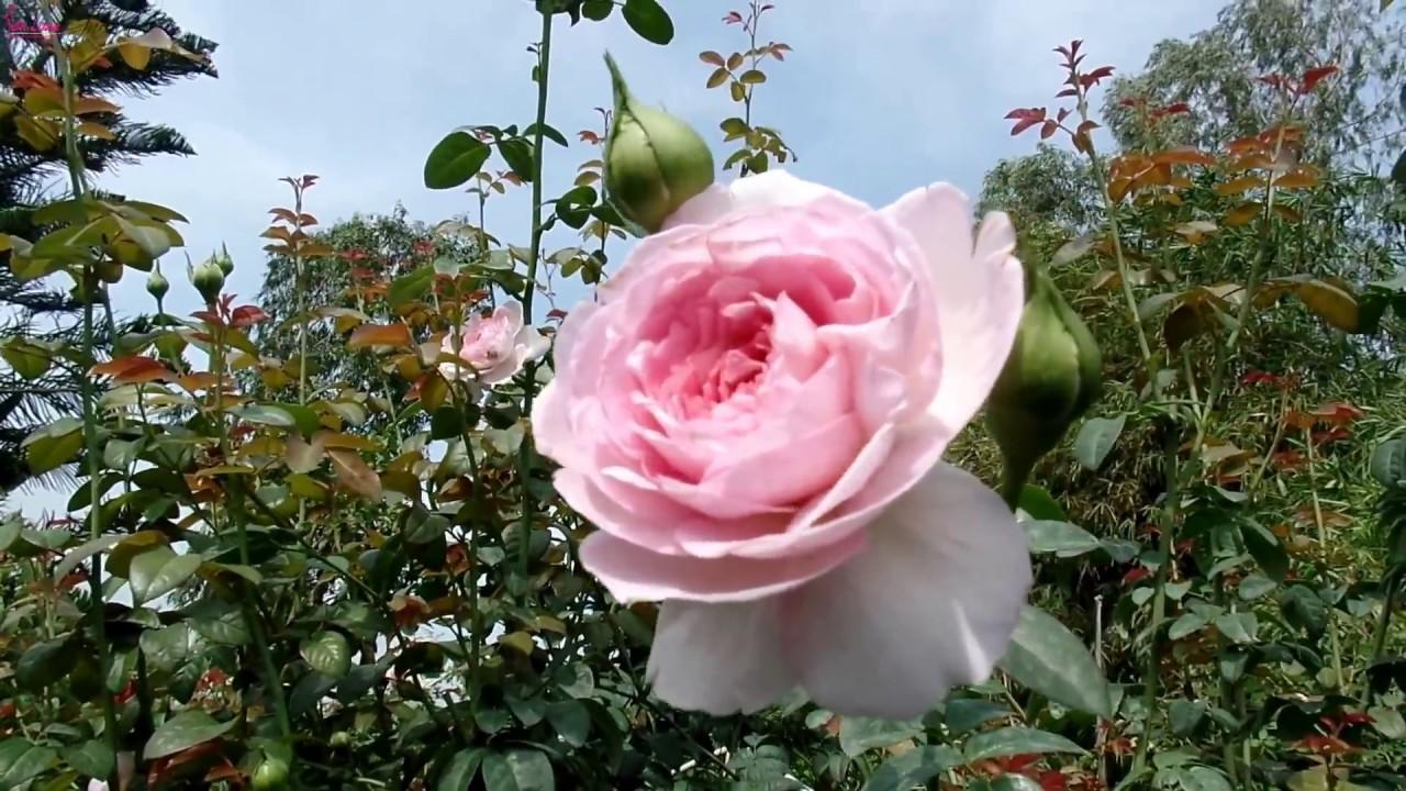 Hoa hồng Nhật Bản Mon Coeur rose sau 1 năm trồng ở Sa Đéc ...