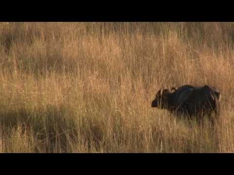 Buffalo, Evening, Chitwan; Nepal. Буйволы, вечер, Читван; Непал (polozov2135)