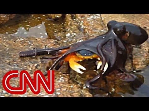 Octopus leaps out of water, grabs crab