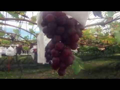 farmLife: natural farming grape farm