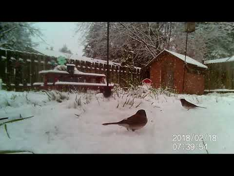 Wildlife camera: happy Dark-eyed Juncos in the falling snow.  Cats will love this!