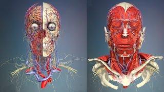 3D Анатомия человека - голова и шея, вид спереди.