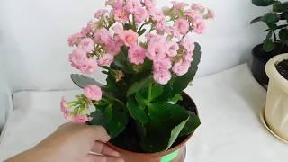 Каланхоэ поле цветения