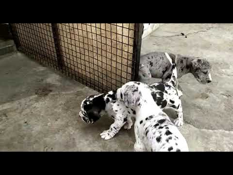 Great Dane Puppies For Sale @9611154078