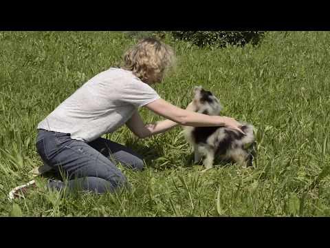 Choisir son chiot selon les tests de Campbell - le berger australien