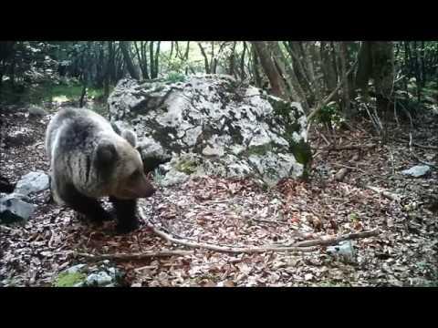 L'orso curioso scopre la fototrappola scappa m...