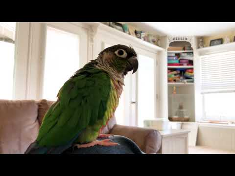 Trello the Green Cheek Conure Talking