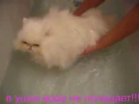 купание персидской кошки