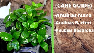 Anubias (Care Guide)(Care Level: Easy Lighting: Moderate Placement: Foreground Water Conditions: 72-82° F, KH 3-7, pH 6.5-7.5 Propogation: Rhizome Division Max. Size: 1' 4