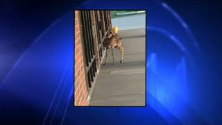 Rabid Deer Attacks Woman