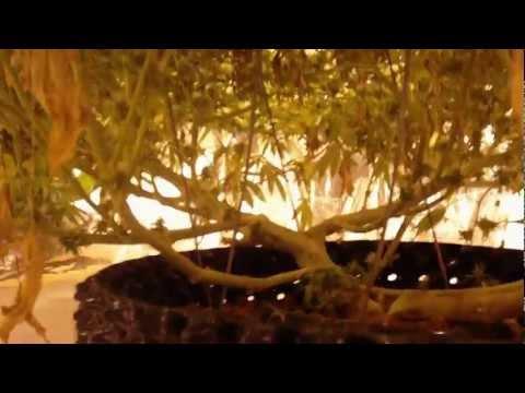 Biggest 3 pound prop 215 indoor hydroponics marijuana plant in air pot