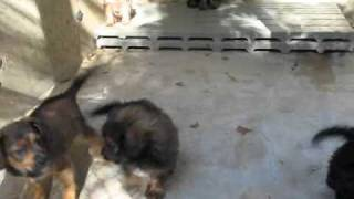 Beagle Shepherd Mix Puppies.wmv