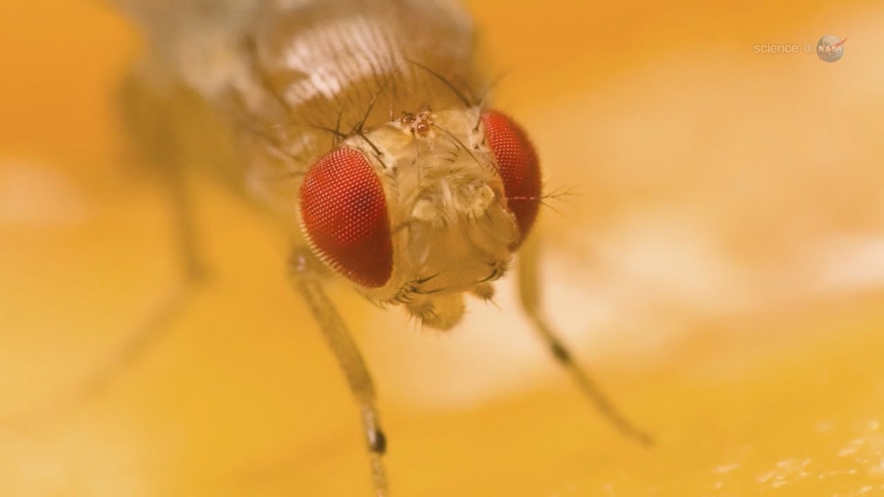 ScienceCasts: Fruit Flies on the International Space Station