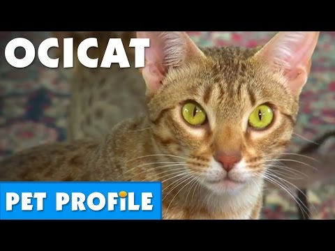 Ocicat Pet Profile | Bondi Vet