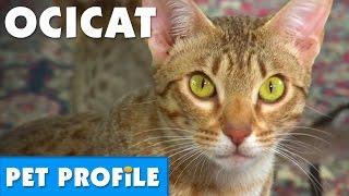 Ocicat Pet Profile | Bondi Vet