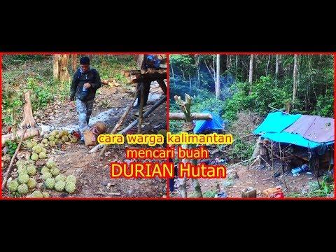 Durian Fruit From Borneo Forest II Beginilah Cara Orang Kalimantan Menunggu Buah Durian Di Hutan