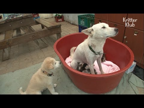 A Dog Breastfeeding Little Kittens?? | Kritter Klub