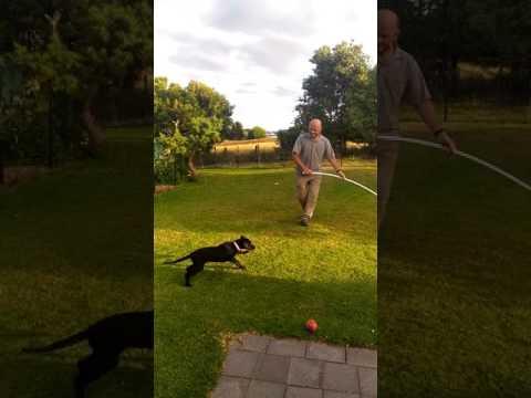 Huntaway puppy, Ripley with a flirt pole