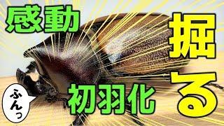 カブトムシ+クワガタ ガチャポンみたいにフンボルトヒナカブトを掘り出す!(くろねこチャンネル)