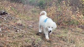My Great Pyrenees, 3 months old puppy