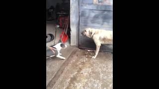 turkish kangal vs bull terrier