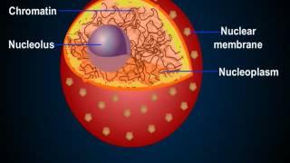 Строение клетки (ядро)