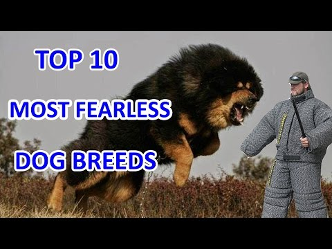 Top 10 Most Fearless Dog Breeds