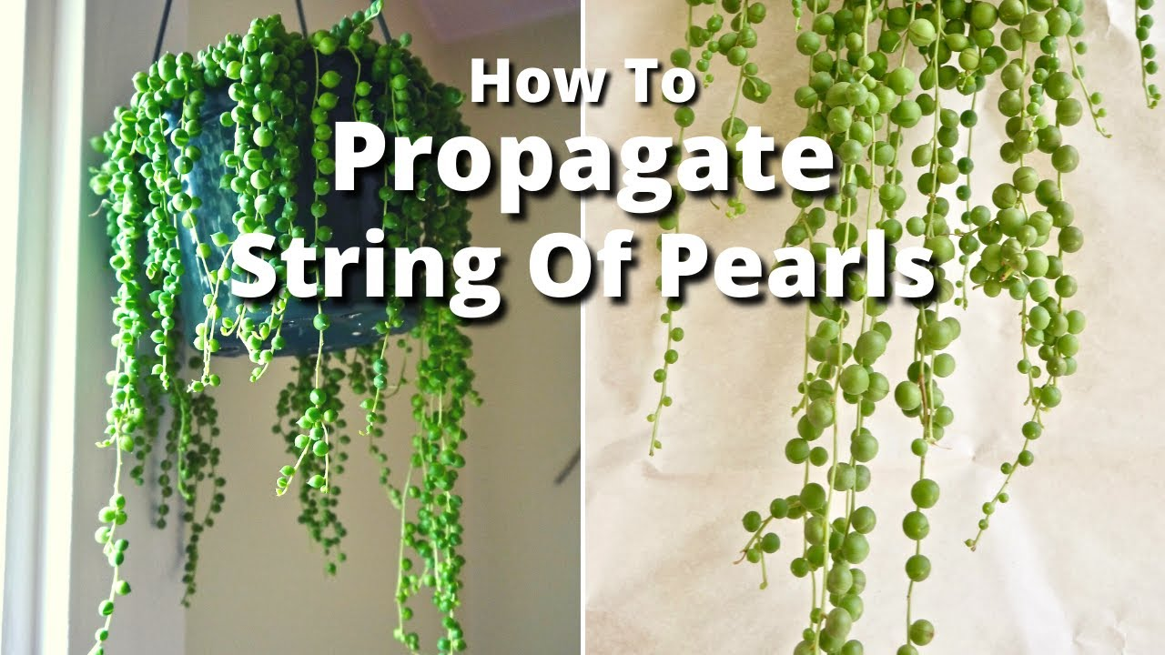 String of pearls plant care - The Simple Way To Propagate A String Of Pearls Plant