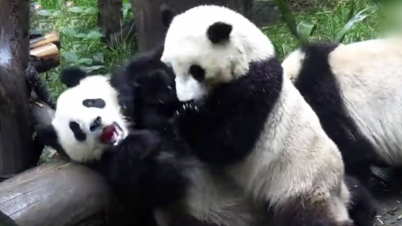 Fighting Pandas победили Nigma на WePlay! Bukovel Minor