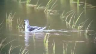 アカエリヒレアシシギ(1)旅鳥(与那国町ほか) - Red-necked phalarope - Wild Bird - 野鳥 動画図鑑