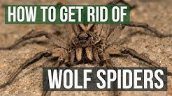 How to Get Rid of Wolf Spiders