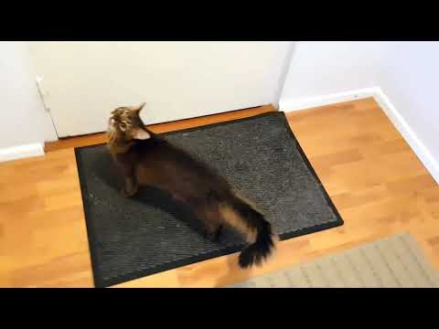 Somali cat eagerly welcomes one of his favourite guests