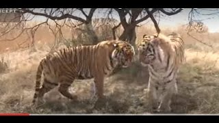 Tigers fighting after mating. Mating is an aggressive affair. Help save tigers. Share our post.