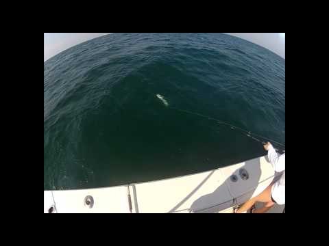 Triple Hookup Of Cobia Deep Sea Fishing On Integrity Charter's Six Hour Trip