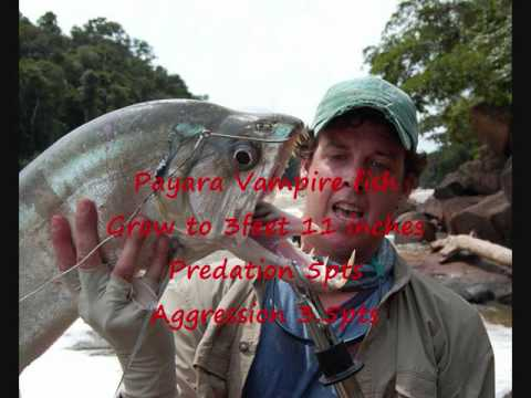 Top 10 Predator Aggressive Fish In The Aquarium Youtube