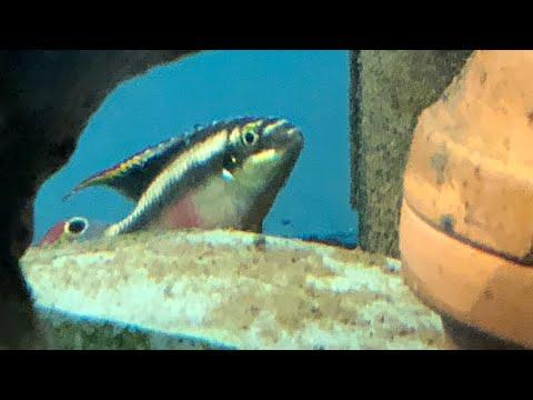 Pelvicachromis Pulcher Spawn!!!