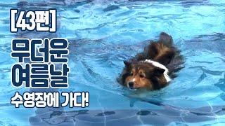 [43편] 강아지가족 수영장 가다!