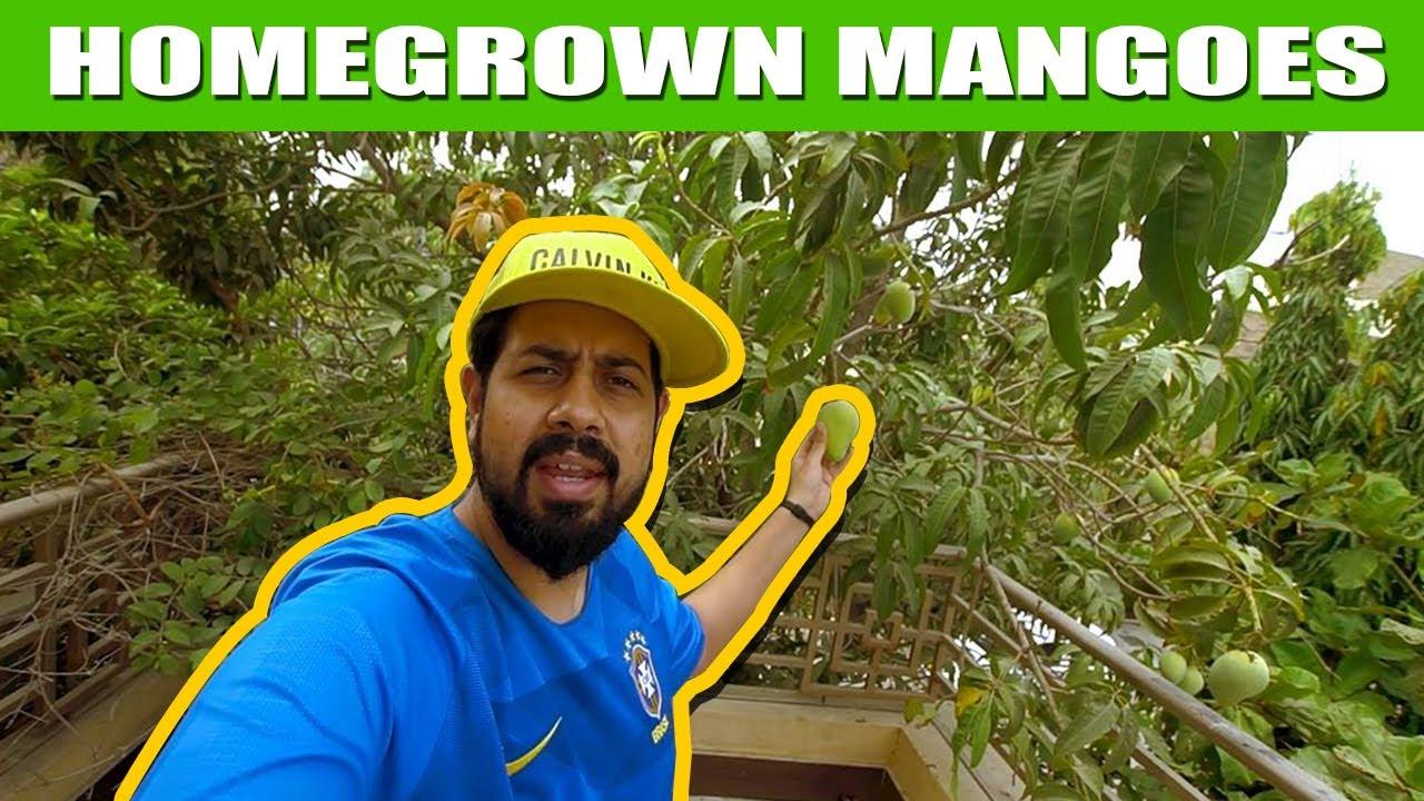 Homegrown Mangoes   Vlog   Bekaar Plus
