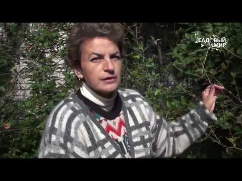 Почему не плодоносят вишни и сливы. Сайт Садовый мир