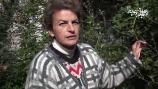 видео Посадка растений, плодовых деревьев и кустарников (яблони, малины, смородины, ежевики, черешни)