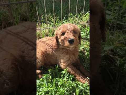 Lina/Paddington's F1bb Medium Goldendoodle puppy picking video 1 of 2