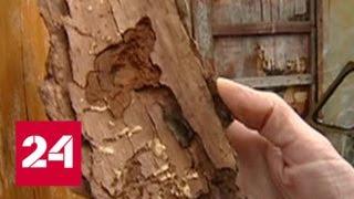 В Иркутской области насекомые-вредители под корень съедают реликтовые леса - Россия 24