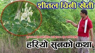 पातको मुल्य नै लाखौ पर्ने जडिबुटी खेती नेपालमै, यो खेती बारे जानौं Drumstick Farm   sitalchini plant