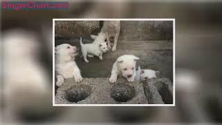 在生活中,我們最常見到的就是警犬就是德國牧羊犬,最常見到的導盲犬就...