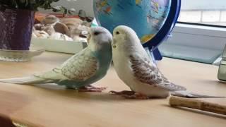 Волнистые попугаи Чехи(1)